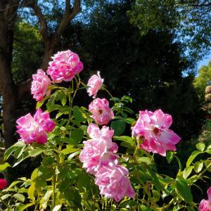 ブリリアント ピンク アイスバーグ 薔薇の花