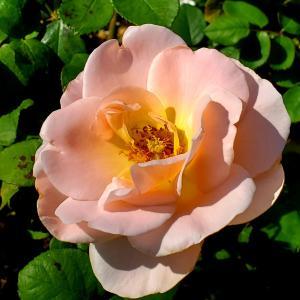 エンプレス ミチコ♡ハイネス愛 薔薇の花