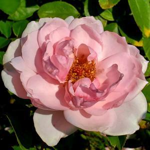 プチ トリアノン ラ ビ アン ローズ 薔薇の花