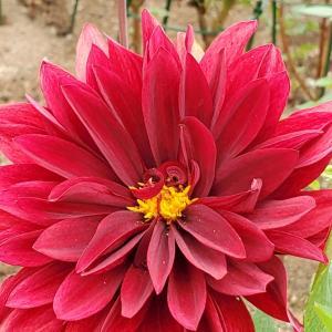 ダリアの花写真まとめ 兵庫県立フラワーセンター