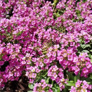 アリッサム 季節の花