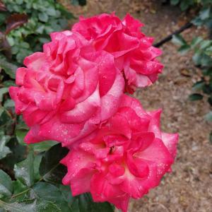 ピース メーカー ピンク色のバラ