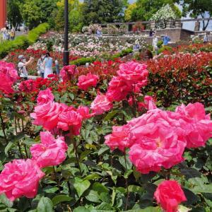 体調回復♡ブレンドシップ 薔薇の花