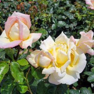 8月ですね♡ピース 薔薇