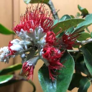 レフアの蕾とプルメリアの種