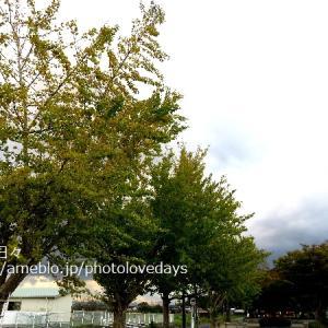 【琴浦町】田舎の風景黄金色のイチョウ/琴浦町
