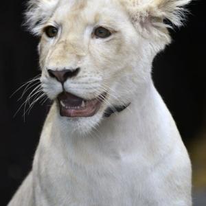2019.11.4 東北サファリパーク☆ホワイトライオンのイチゴちゃん_<その2>【White lion】