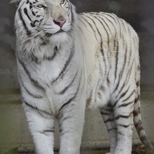 2020.1.19 東北サファリパーク☆ホワイトタイガーのマリンくん【White tiger】