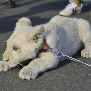 2018.11.18 東北サファリパーク☆ホワイトライオンのリズムちゃま【White lion baby】<その5(完)>