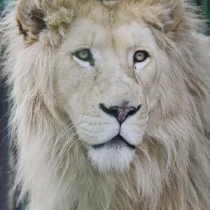 2020.1.19 東北サファリパーク☆ホワイトライオンのポップくん【White lion】