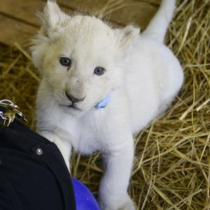 2020.3.15 東北サファリパーク☆ホワイトライオンのいっきゅう君【White lion baby】<その1>