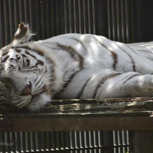 2020.6.11 宇都宮動物園☆ホワイトタイガーのアース王子&シラナミ姫<前編>【White tiger】