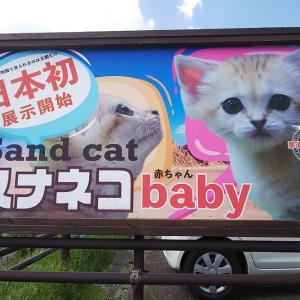 2020.6.15 那須どうぶつ王国☆スナネコの赤ちゃん<その1>【Sand cat baby】