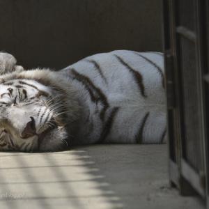 2020.7.2 宇都宮動物園☆ホワイトタイガーのアース王子とシラナミ姫【White tiger couple】