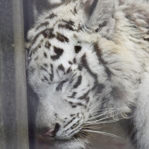 2020.7.7 宇都宮動物園☆ホワイトタイガーのグーナくん【White tiger】