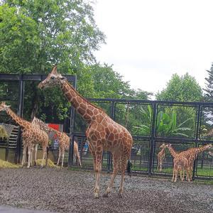 2020.7.7 宇都宮動物園☆キリンファミリー【Giraffe family】