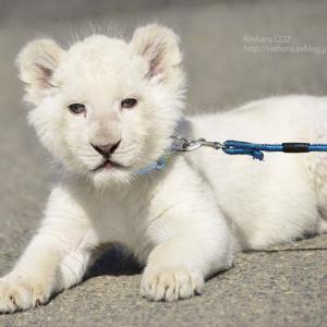 2020.3.15 東北サファリパーク☆ホワイトライオンのいっきゅう君【White lion baby】<その4>
