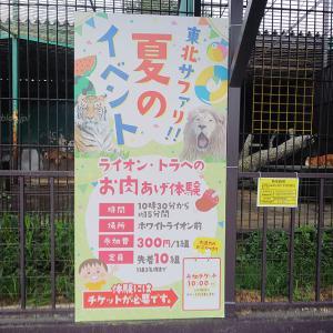 2020.8.8 東北サファリパーク☆ホワイトタイガーのマリンくん【White tiger】