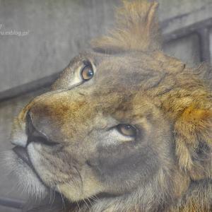 2020.7.7 宇都宮動物園☆ライオンのゴウくん【Lion】