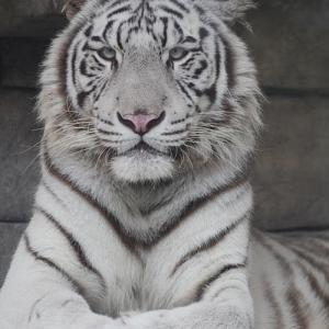 2020.10.14 東武動物公園☆ホワイトタイガーのシュガー君【White tiger】