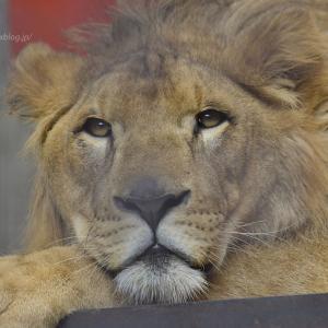 2020.5.24 宇都宮動物園☆ライオンのゴウくん【Lion】