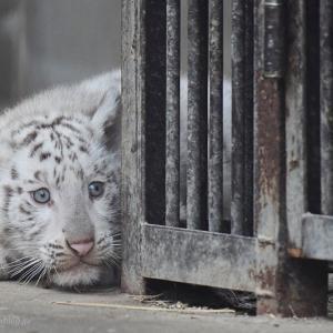 2021.5.23 宇都宮動物園☆ホワイトタイガーのシラナミ姫と赤ちゃん【White tiger】<その3(完)>