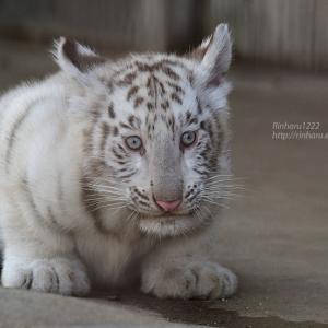 2021.6.12 宇都宮動物園☆ホワイトタイガーのシラナミ姫と赤ちゃん【White tiger】<その1>