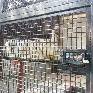 2021.6.12&13<合併号> 宇都宮動物園☆ホワイトタイガーのグーナくん【White tiger】