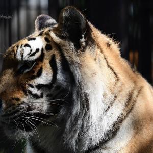 2021.6.20 宇都宮動物園☆アムールトラのアズサちゃん【Amur tiger】