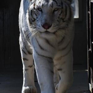 2021.2.21 宇都宮動物園☆ホワイトタイガーのアース王子【White tiger】<その2>