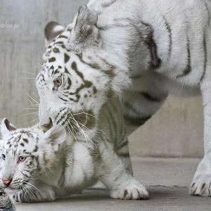 2021.6.28 宇都宮動物園☆ホワイトタイガーのシラナミ姫と赤ちゃん【White tiger】<その1>