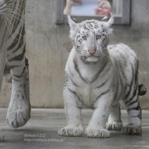 2021.7.3 宇都宮動物園☆ホワイトタイガーのシラナミ姫と赤ちゃん【White tiger】<その1>