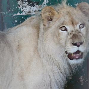 2021.6.5 東北サファリパーク☆ホワイトライオンのいっきゅう君【White lion】<その2>