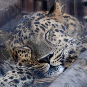 2021.6.12 宇都宮動物園☆アムールヒョウのトワくん【Amur leopard】