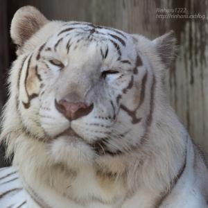 2021.7.18 宇都宮動物園☆ホワイトタイガーのアース王子【White tiger】