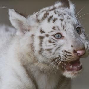 2021.5.23 宇都宮動物園☆ホワイトタイガーのシラナミ姫とイーサンくん【White tiger】<その3>