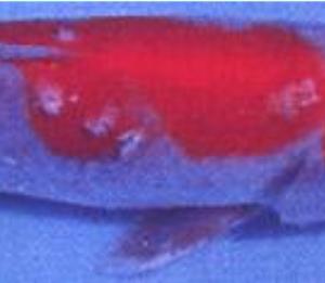 カラムナリス病(鰓腐れ病、鰭腐れ病、口腐れ病、皮膚のカラムナリス病)