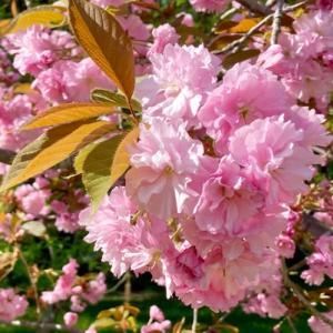 みどりの桜?