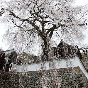 佐用・大糸桜