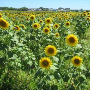 小野市「ひまわりの丘公園の夏」