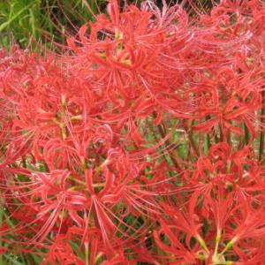 ヒガンバナ(彼岸花)別名「曼珠沙華」