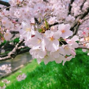 「お花見した」と堂々と言えない世の中…コロナから心も守ろう。