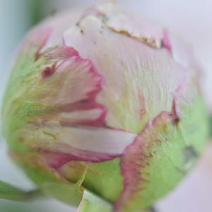 ・芍薬~peony~蕾から咲くまで♩