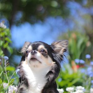 お庭にて 勿忘草と躑躅
