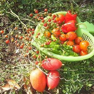 ♪秋っぽいかんじ~の収穫&夕飯・お弁当&ワンズ♪