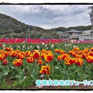 長崎市香焼町安保地区★チューリップ★