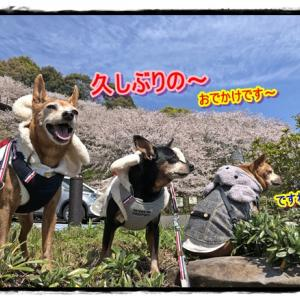 サクラ・桜・サクラ~ヾ(o´∀`o)ノワァーィ♪