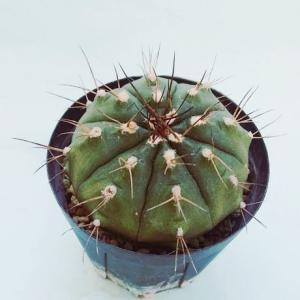 Gymnocalycium damsii ssp. evae v. boosii ( ボオシー)