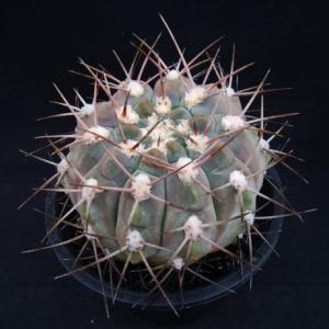 Gymnocalycium glaucum ( グラウカム )
