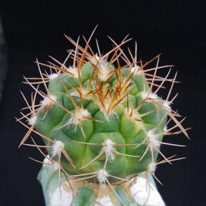 Gymnocalycium alboareolatum ( アルボアレオラタム )